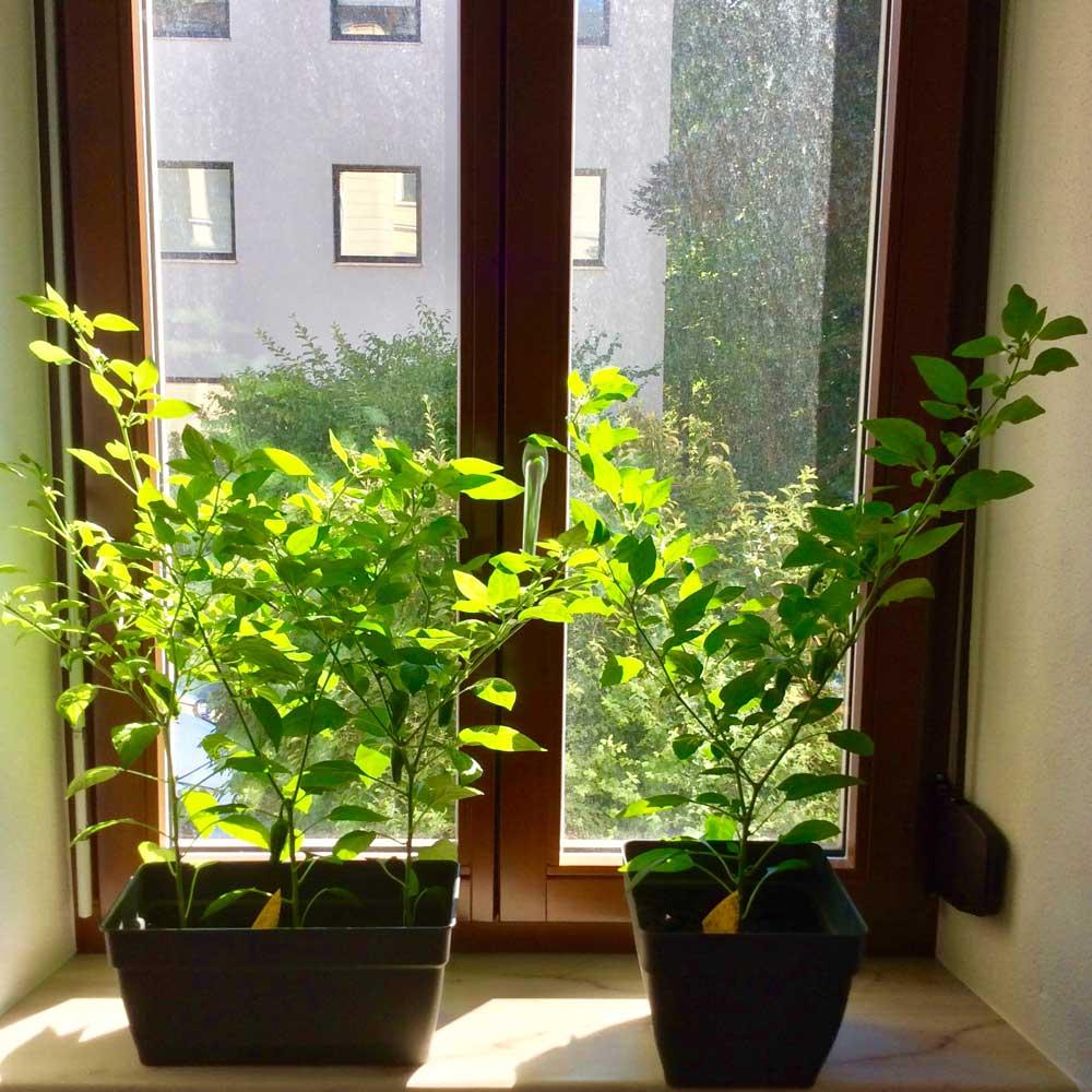 Chili selbst züchten Chili Pflanzen